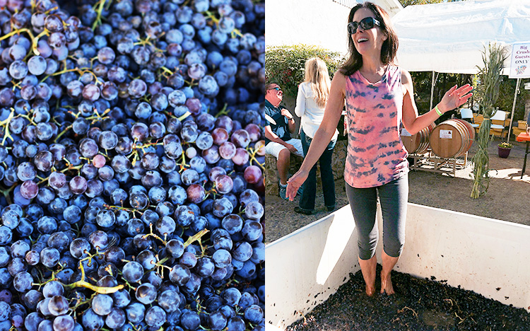Italian Chef Deborah Dal Fovo does some grape stomping at Amador County wine crush in California.