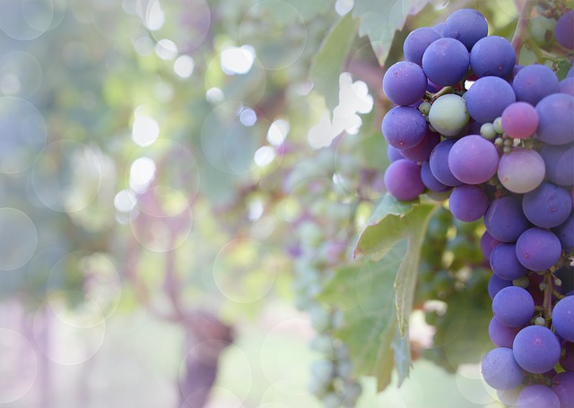 Reflections on Sin, the Fall and Our Life in Christ in The Plumpest, Purplest Grape