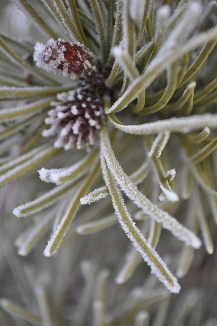 the artyologist- ethereal beauty winter frost on pine needles