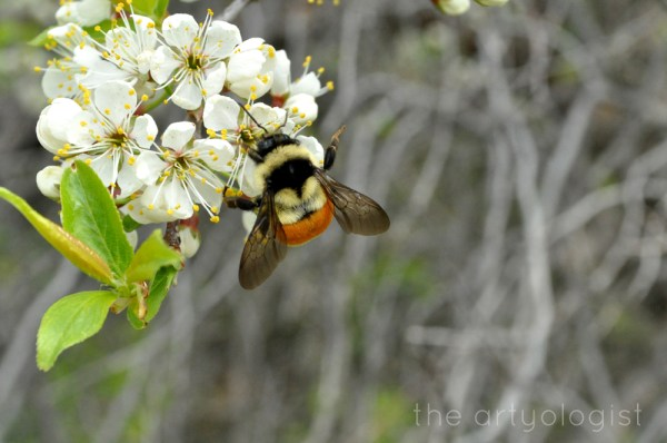 image of bee on flowering plum tree the artyologist