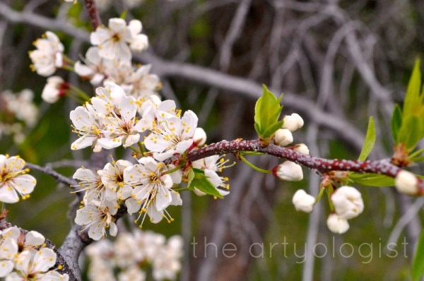 image of spring flowers plum blossoms the artyologist