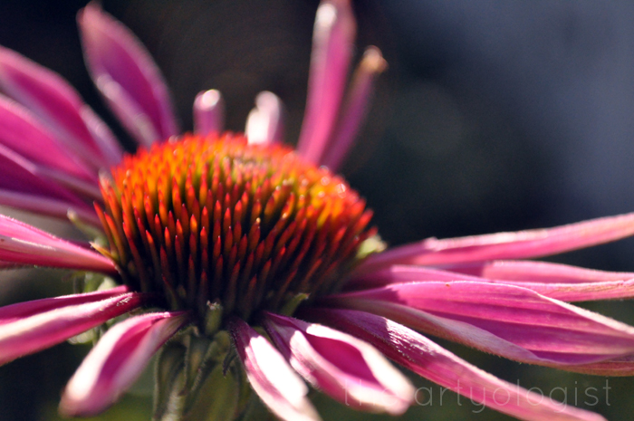 pink coneflower, technicolor flowers, the artyologist