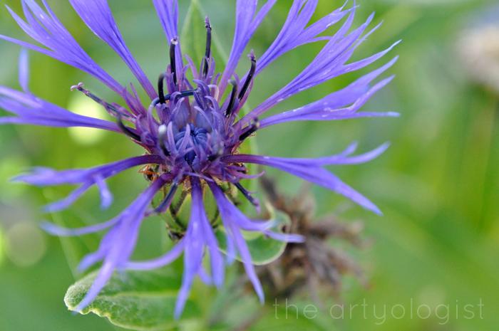 blue cornflower, technicolor flowers, the artyologist