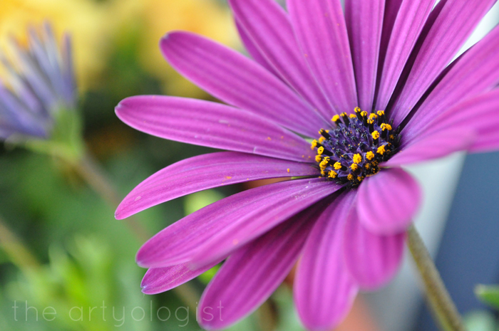 purple daisy technicolor flowers, the artyologist