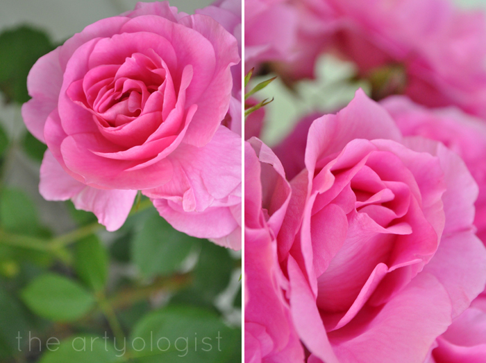 vibrant pink roses, technicolor flowers the artyologist