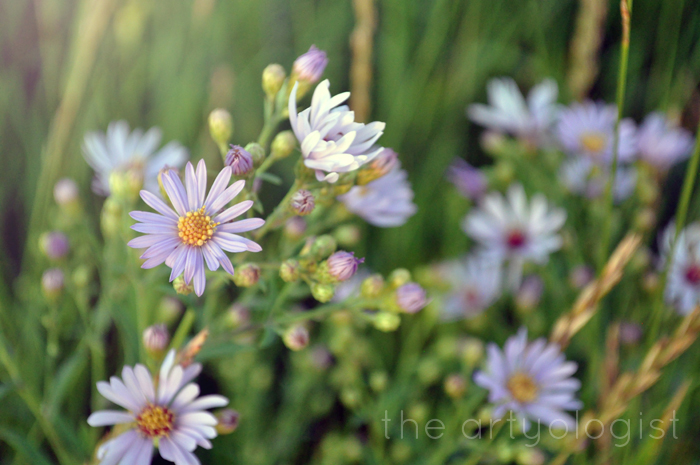 gathering wildflowers, asters, the artyologist