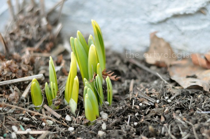 crocuses-coming-up, spring in my step, the artyologist