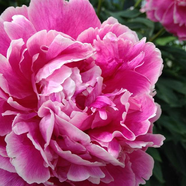 Interrupting lilacs to bring you peonies today I have beenhellip