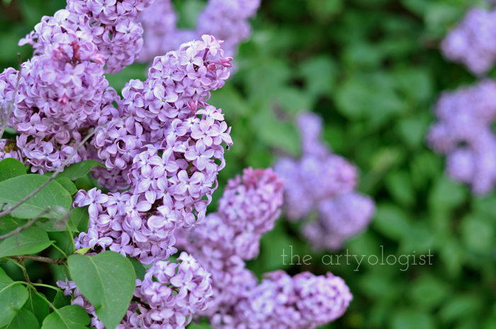 Lilacs and Love letters, the artyologist, lilacs-3
