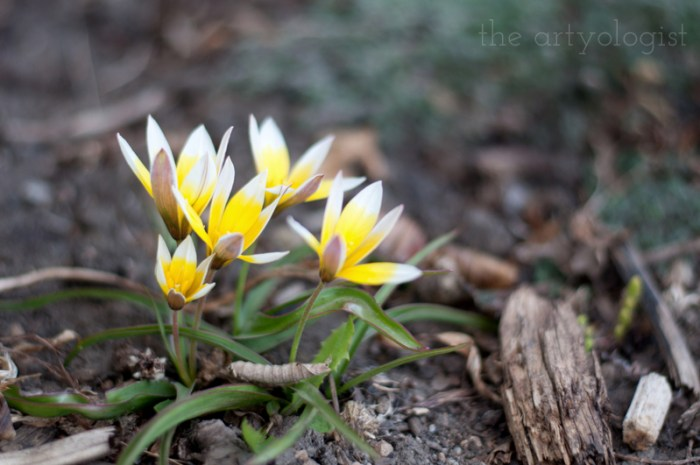 tiny yellow tulips blooming