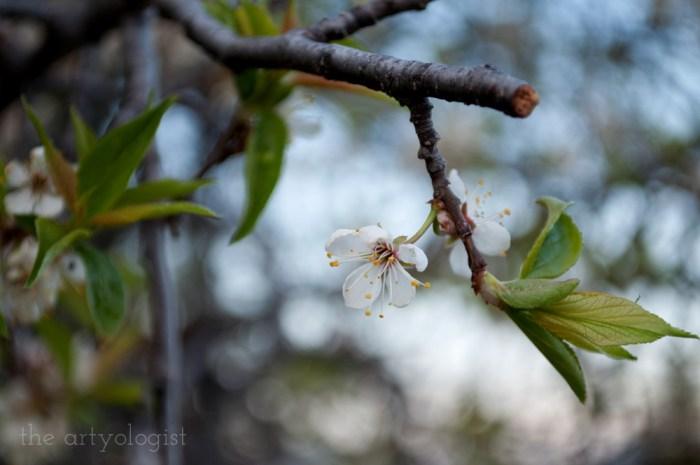 single plum tree blossom
