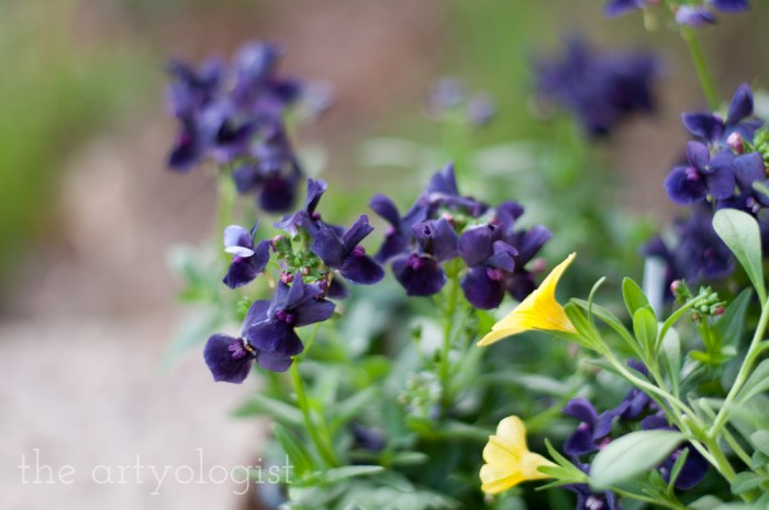 purple bedding plant flowers