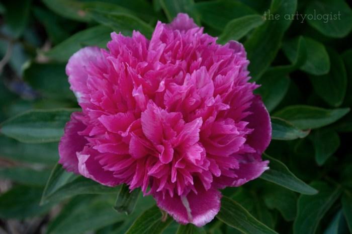 dark pink japanese peony