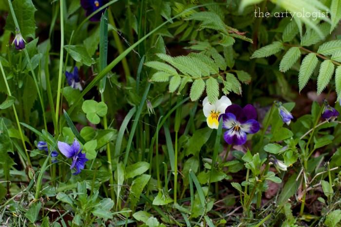 purple and yellow violas