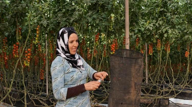 Employée dans une exploitation franco-marocaine de tomates cerises à Dakhla