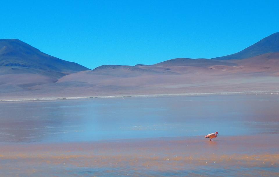 Flamingo Bolivia