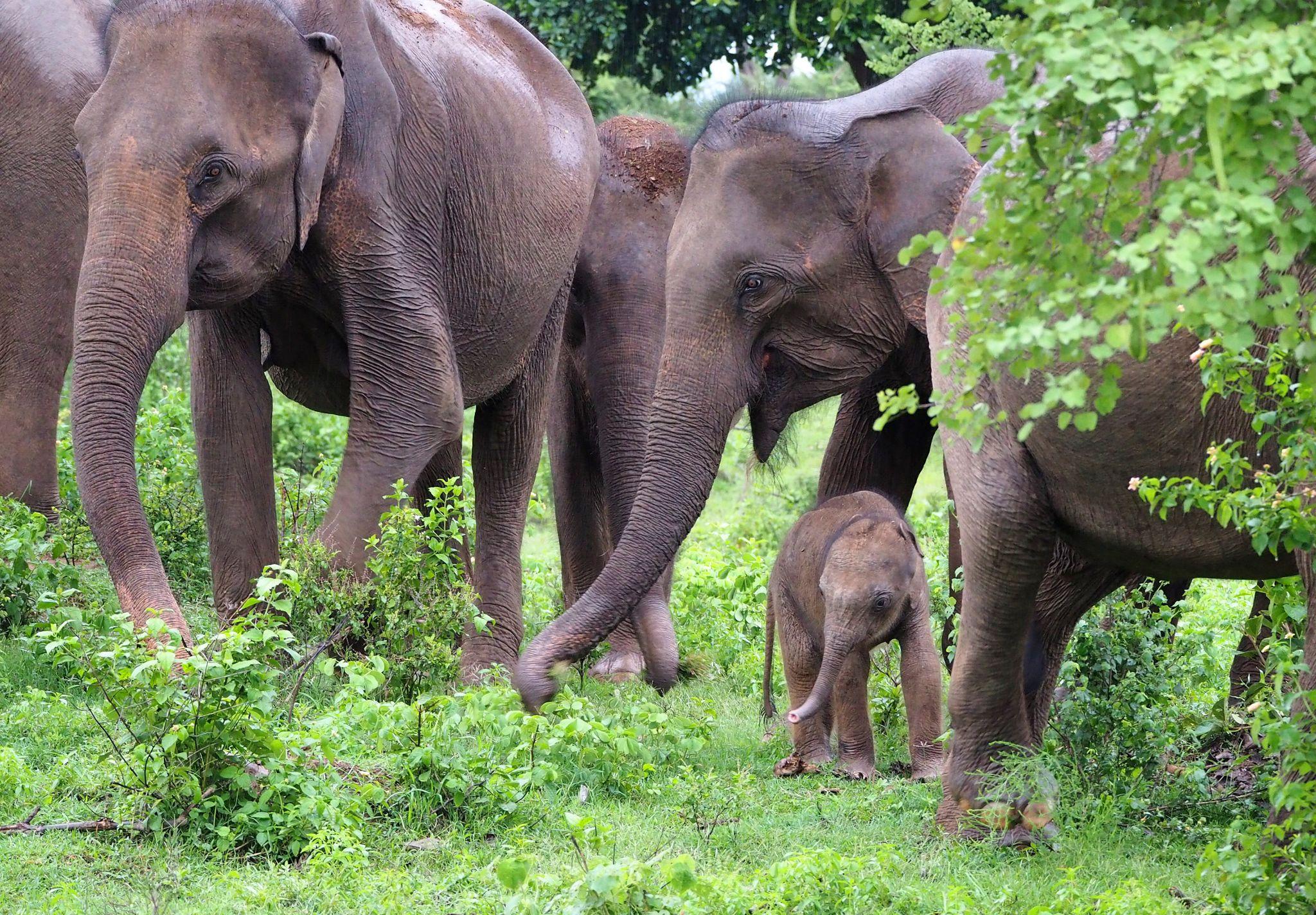 Baby elephant and family Udawalwe National Park