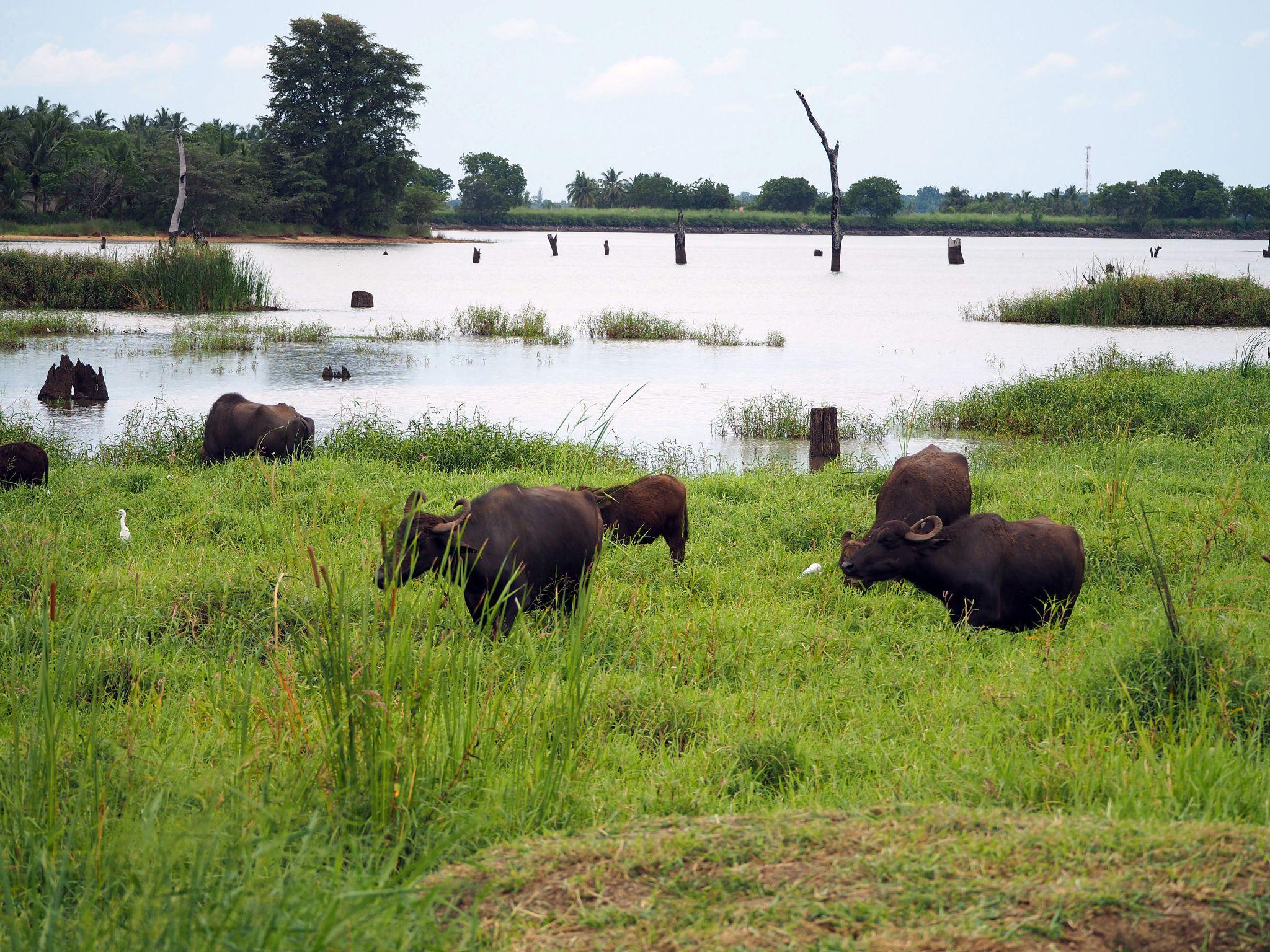 Buffalo by lake at Master Campers Udawalawe