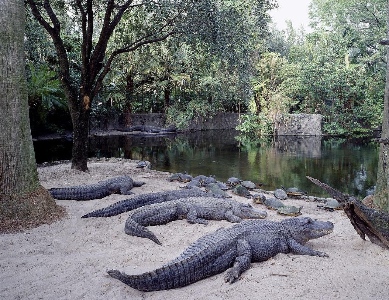 Busch Gardens Tampa Bay Alligators