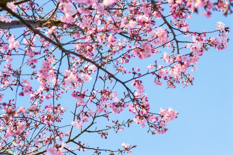 Cherry Blossoms Okinawa Japan