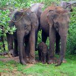 Elephant family photo Udawalwe National Park