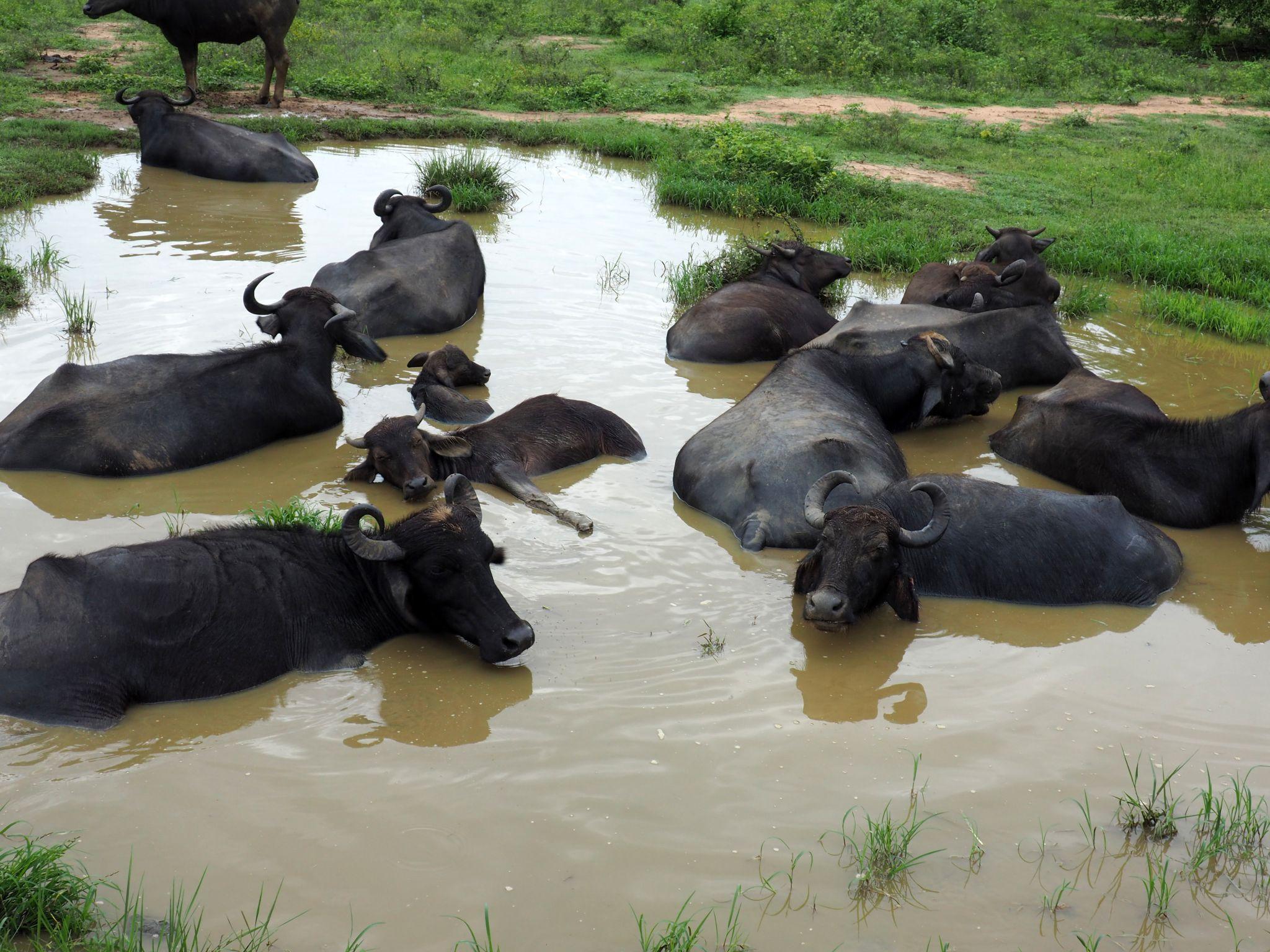 Udawalwe National Park Water Buffalo