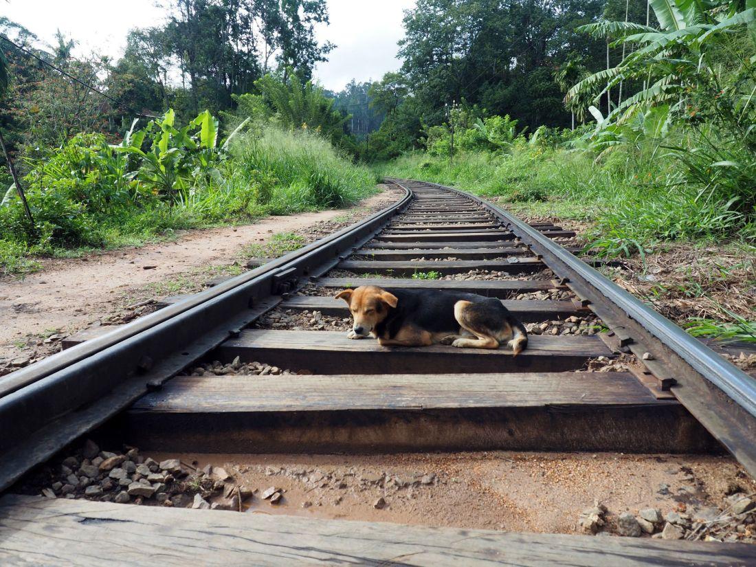 Dog on train tracks Sri Lanka