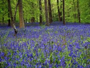 Carpet of Blue Bells