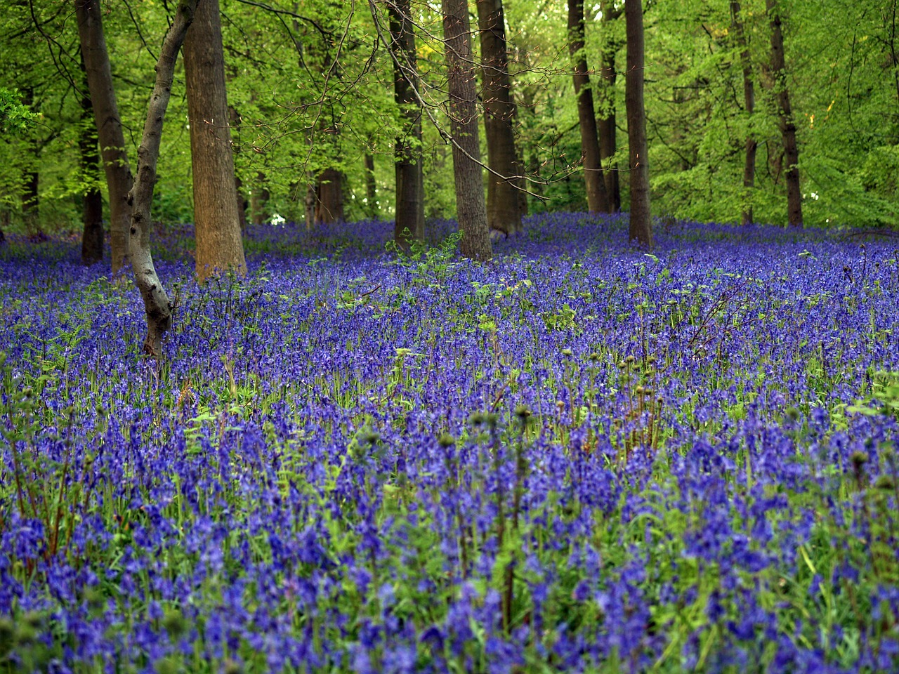 Carpet of Blue Bells