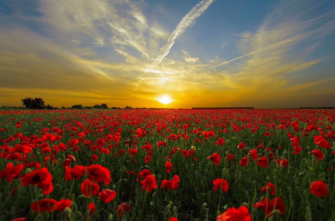 Field of Poppies at Sunset