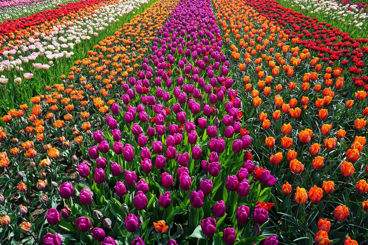Field of colourful Tulips Holland