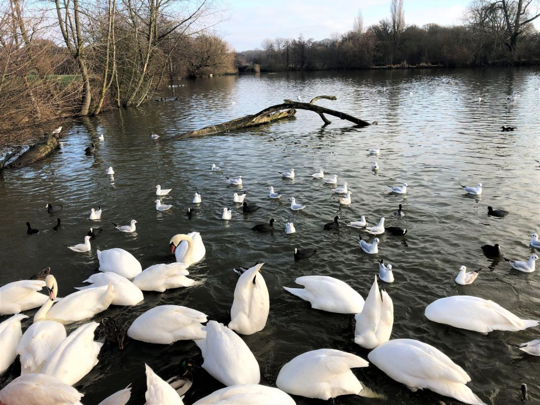 Swans and ducks at Earlswood Lakes