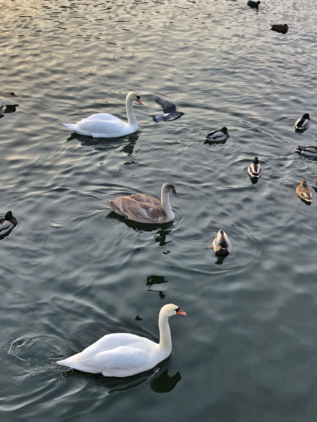Swans and ducks in Stockholm