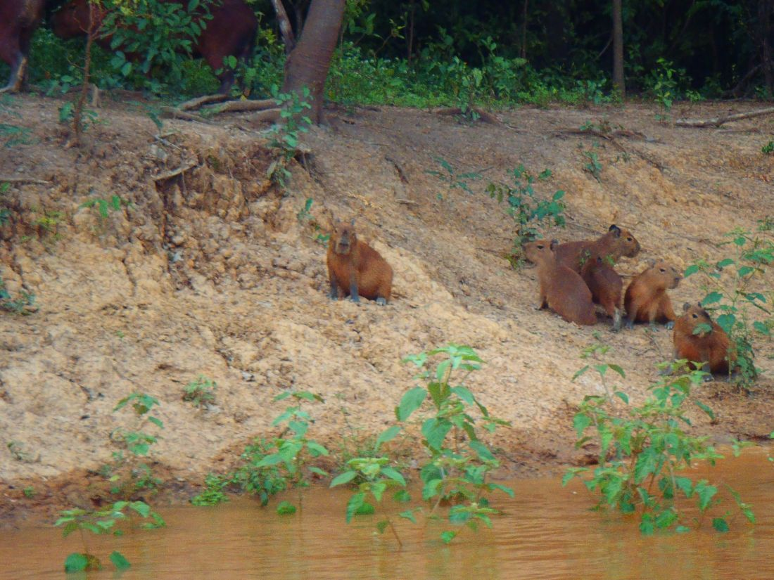 Capybaras on shore