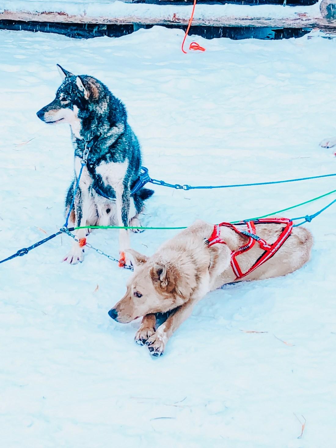 Bearhill Husky Dogs resting