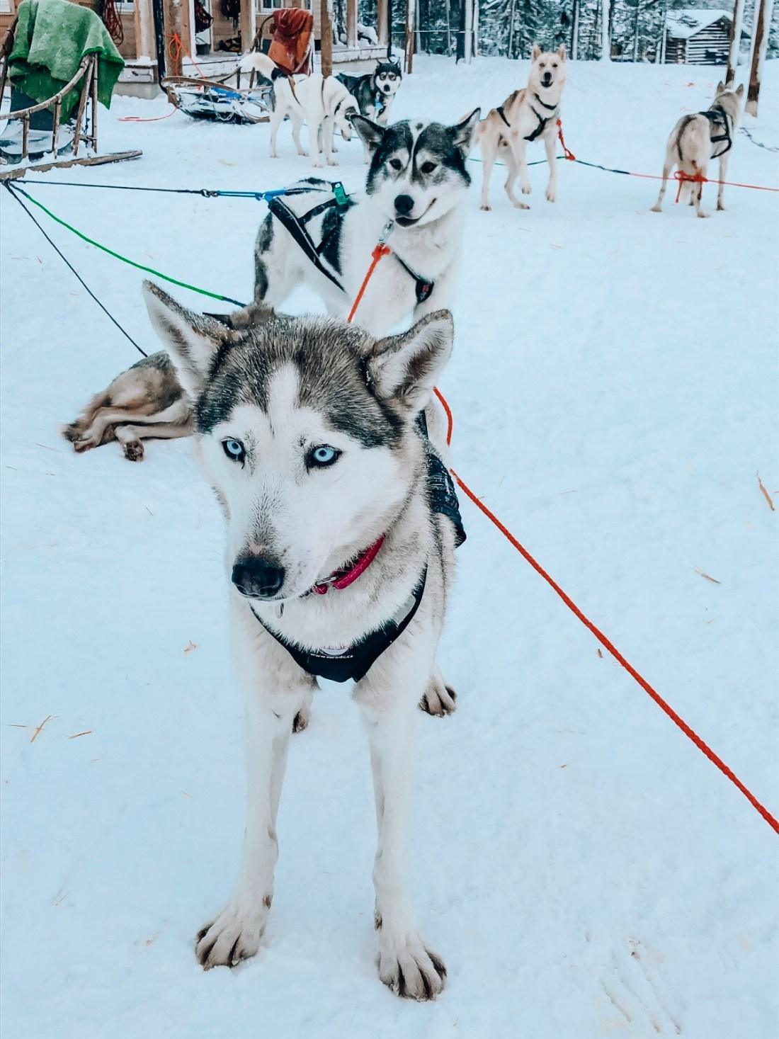 Bearhill Husky Sled Dogs