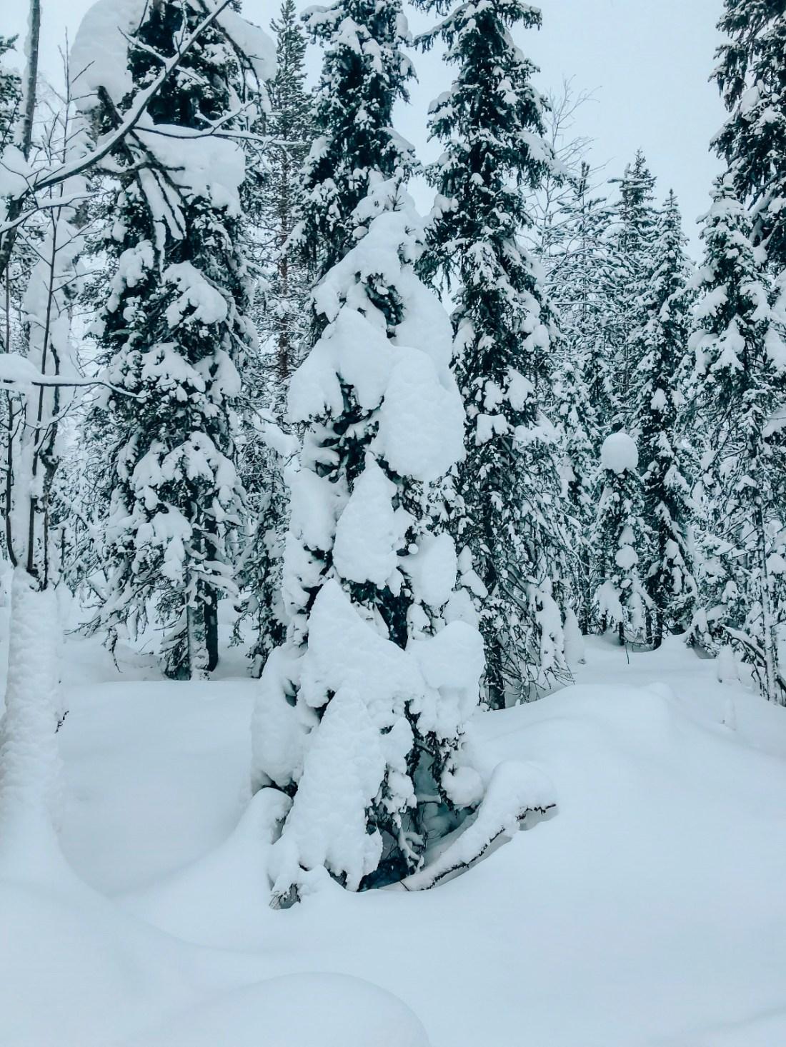 Snowy Trees Finnish lapland