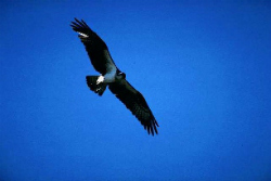True Blue Eagle
