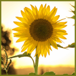 The Austin Alchemist Media Company offers body mind spirit news resources and events - sunflower summer