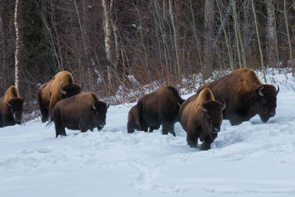 Typical rally spectators, these are wood bison.
