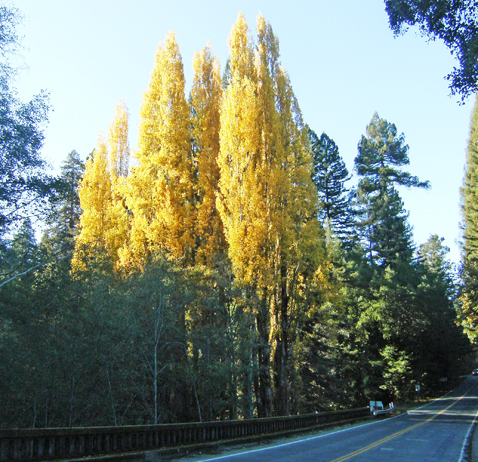 The vivid fall color poplars at Indian Creek Park in Philo