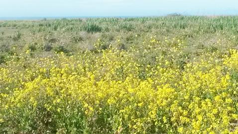 Mustard Sea (Photo by Susie de Castro)