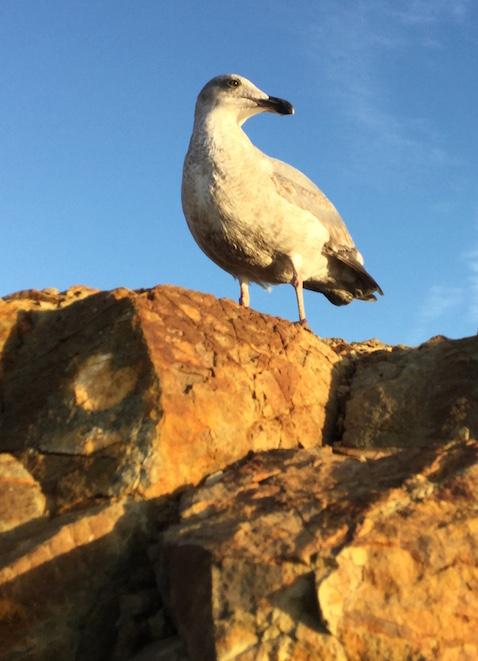 Gull (photo by Annie Kalantarian)