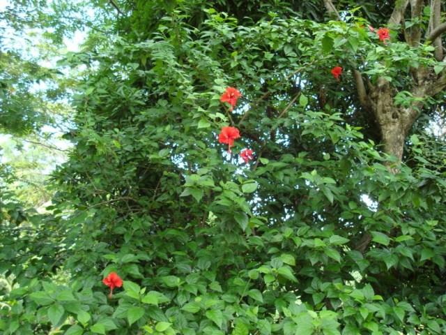 Ayurvedic benefits of Hibiscus flower