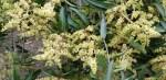 Mango-Flowers-680×330