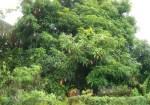 Mango-Tree-with-fruits-400×280