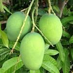 Raw-mangoes-150×150