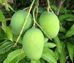 Raw-mangoes-300×258