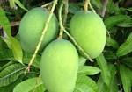 Raw-mangoes-400×280