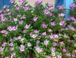 Sadabahar-flower-300×230